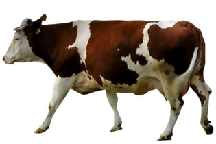 cow The War of the Beef Will Not Take Place