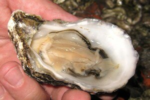 opening3 300x201 Oyster on the half shell