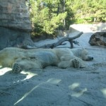 One of three polar bear residents at the San Diego Zoo