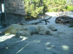 One of three polar bear residents at the San Diego Zoo