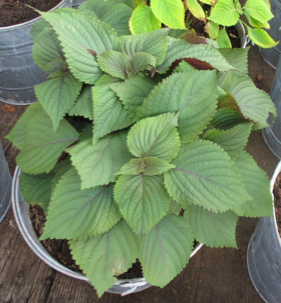Tiato leaves