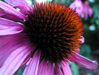 The echinacea flower, one of our Top 10 Immune Boosters