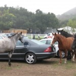 Horses mixing with the crowd on the parking lot at Saddlerock Ranch, Malibu
