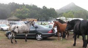 saddlerock ranch malibu horses 300x164 Horses mixing with the crowd on the parking lot at Saddlerock Ranch, Malibu