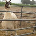 Llama at Saddlerock Ranch, Malibu