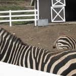 Zebras at Saddlerock Ranch, Malibu