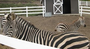 saddlerock ranch malibu zebras 300x165 Zebras at Saddlerock Ranch, Malibu