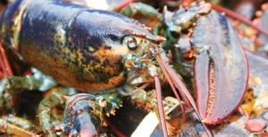 live lobster 300x154 Live Maine lobster