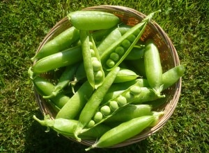 Fresh-picked garden peas
