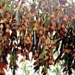 Monarch butterflies in Pismo Beach