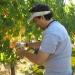 Jeff Hoyt cutting grapes