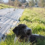 Rico, a well-trained Lagotto Romagnolo truffle hunter, after a foray in the orchard