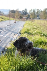 lagotto romagnolo truffle hunter 199x300 lagotto romagnolo truffle hunter