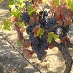 ripe wine grapes 150x150 Sonoma County Grape Camp