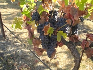 ripe wine grapes 300x225 ripe wine grapes