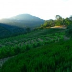 Hillside vineyards at Jericho Canyon in Calistoga