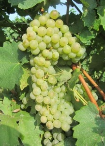 glera grapes 1 217x300 Glera grapes are the star ingredient of Masottina Proseccos