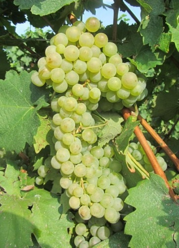 Glera grapes are the star ingredient of Masottina Proseccos