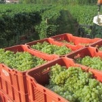 just harvested grapes 1 150x150 Masottinas Massive Eco Friendly Winery a Work in Progress