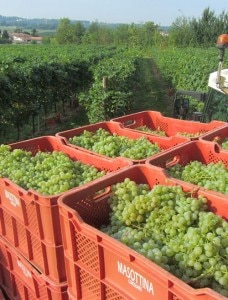 Freshly harvested grapes from the Dal Bianco vineyard