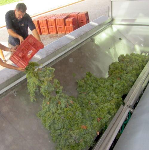 Pre-sorted grapes at Masottina Winery