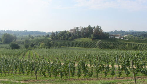 A view of the vines from Masottina Winery in Italy