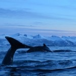 humpback whales 150x150 Winter Escape to Senja, Norway   Travel Feature