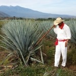 A jimador in Herradura's blue agave fields