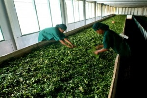 Freshly picked tea leaves being sorted at the Rilhena Estate