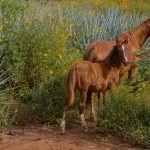 Wild horses still roam on Herradura's property