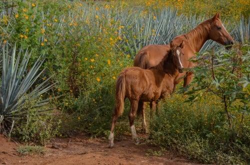 Wild horses still roam on Herradura's property