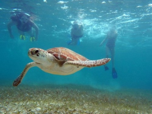 Sea turtles are a common sight at Akumal