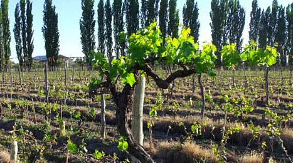 At Achaval-Ferrer it takes three plants to make one bottle of wine