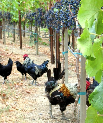 From wine to livestock, chefs in California's Wine Country are thinking locally (Photo credit: Zazu Farm)