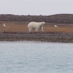 A polar bear meandering along the tundra of the Arctic