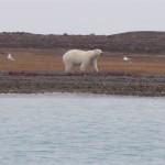 A polar bear meandering along the tundra of the Arctic