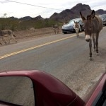 Wild donkeys roaming the streets of Oatman, Arizona