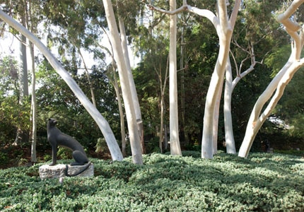 "A lemon-scented gum tree in the ""Blue"" Eucalyptus Walk"