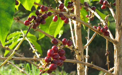 Kona coffee berries are grown on the Big Island of Hawaii