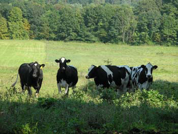 Organic dairy cows grazing in pasture (image by Tessa Young, courtesy of Organic Trade Association)