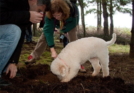 Hunting for truffles with a truffle dog at the Oregon Truffle Festival, photo by David Barajas