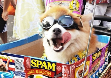 Everybody loves spam, even this adorable pup who was in attendance last year at the Annual Waikiki Spam Jam Festival