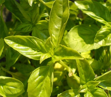 Basil is given as a love token in some parts of Italy