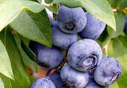 Tasty blueberries are one of our Top 10 Superfoods