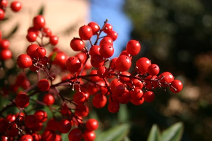 Cranberries can fight off urinary tract infections