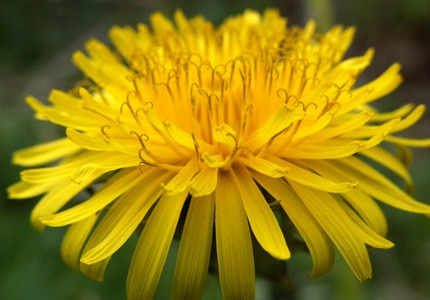 Dandelion root, a nutrient-rich natural diuretic, is one of GAYOT's Top 10 Superfoods