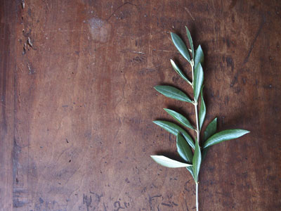 Olive leaf extract is a powerful immune booster