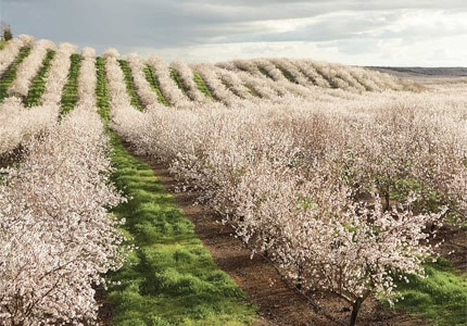 Almond trees blossom into pink and white blooms between late February and early March in California. Photo courtesy of the Almond Board of California