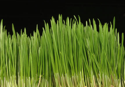 Learn more about the potent health benefits of wheatgrass, a vibrant green superfood said to work magic on the digestive and circulatory systems.