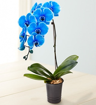 Think outside the bouquet with the Blue Phalaenopsis Orchid from 1-800-flowers.com